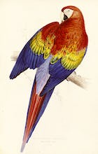 Red and Yellow Maccaw