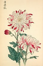 'Azuma Shibori' Chrysanthemum