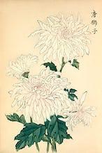 'Karashishi' (Chinese Lion) Chrysanthemum