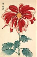 'Nishiki No Mihata' Chrysanthemum