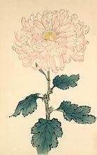 'Usu Sakura' ( Blossom) Chrysanthemum