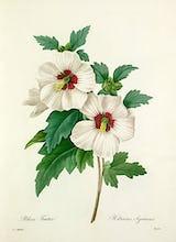 Althea Frutex : Hibiscus syriacus
