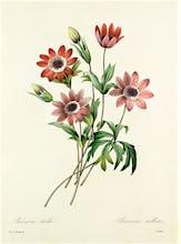 An�mone �toil�e, Anemone stellata