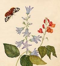 Campanula rapunculus, Phaseolus multiflorus
