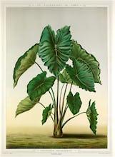 Colocasia bataviensis
