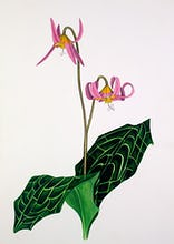 Erythronium 'Rose Beauty'