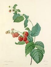 Framboisier : Rubus