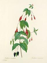 Fuchsia �carlate : Fuchsia coccinea
