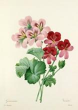 Geranium variet�