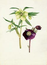Helleborus 'Bowles's Yellow', Helleborus atrorubens
