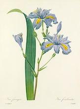 Iris frang�e : Iris fimbriata
