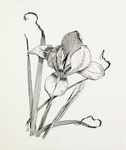Iris unguicularis (Iris stylosa)