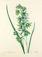 Ixia�� fleurs vertes : Ixia viridiflora