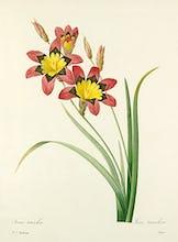 Ixia tricolor : Ixia tricolore