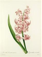 Jacinthe d'Orient variet� rose : Hyacinthus orientalis