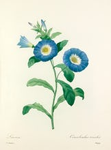 Liseron : Convolvulus tricolor