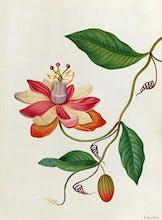 Monier's Passion Flower