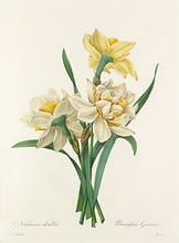Narcisses doubles : Narcissus Gouani