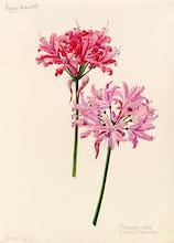 Nerine manselli, flexuosa alba x Lady St Oswald