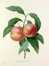 P�cher � fruits lisses