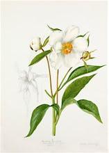 Paeonia emodi