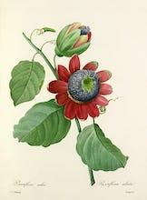 Passiflore ail�e : Passiflora alata