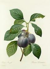 Prune Royale : Prunus domestica