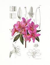 Rhododendron villosum
