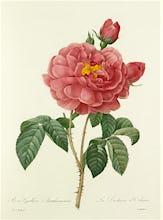 Rosa Gallica Aurelianensis : La Duchesse d'Orl�ans