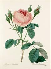 Rosa Muscosa : Rosier Mousseux