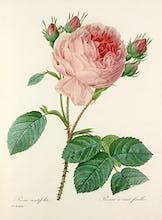 Rosa centifolia : Rosier � cent feuilles