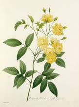 Rosier de Bancks Var. � fleurs jaunes