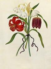 Scarlet Martagon, Cluster Snowdrop, Purple Fritillaria