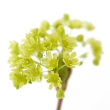Simple Acer