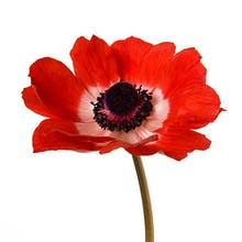 Simple Poppy