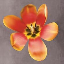 Sunshine Tulip
