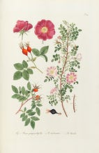 T107. Fig 1 Rosa pimpinellifolia