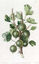 The Early Green Hairy Gooseberry