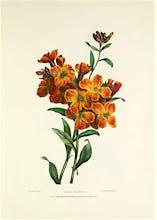 Wall Flower