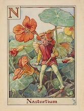 Nasturtium Fairy