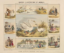 The Swan, Goose and Duck