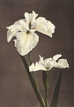 Iris K�mpferi, from Some Japanese Flowers
