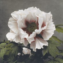 Tree Peony, from Some Japanese Flowers