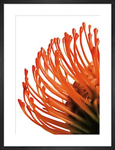Orange Protea 4 by Jenny Kraft