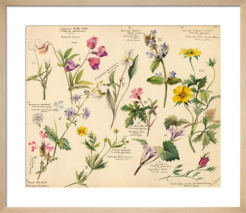 Wildflower Composite IV by Lillian Snelling