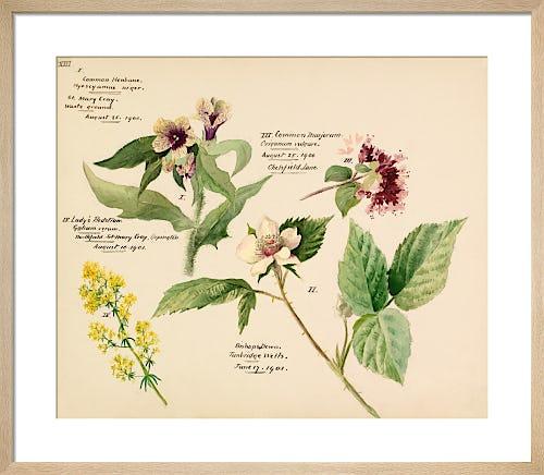 Wildflower composite XIII by Lillian Snelling
