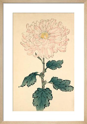 'Usu Sakura' ( Blossom) Chrysanthemum by Keikwa Hasegawa