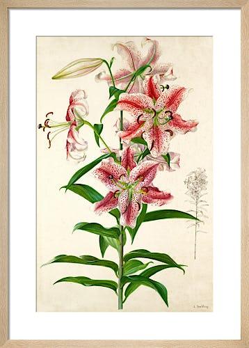Lilium x parkmanni by Lillian Snelling