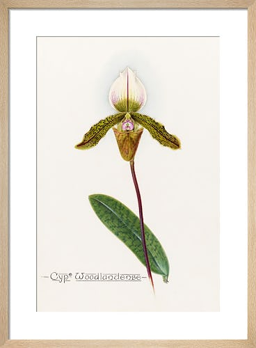 Cypm. Woodlandense by John Livingstone McFarlane