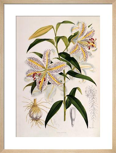 Lilium auratum by Walter Hood Fitch